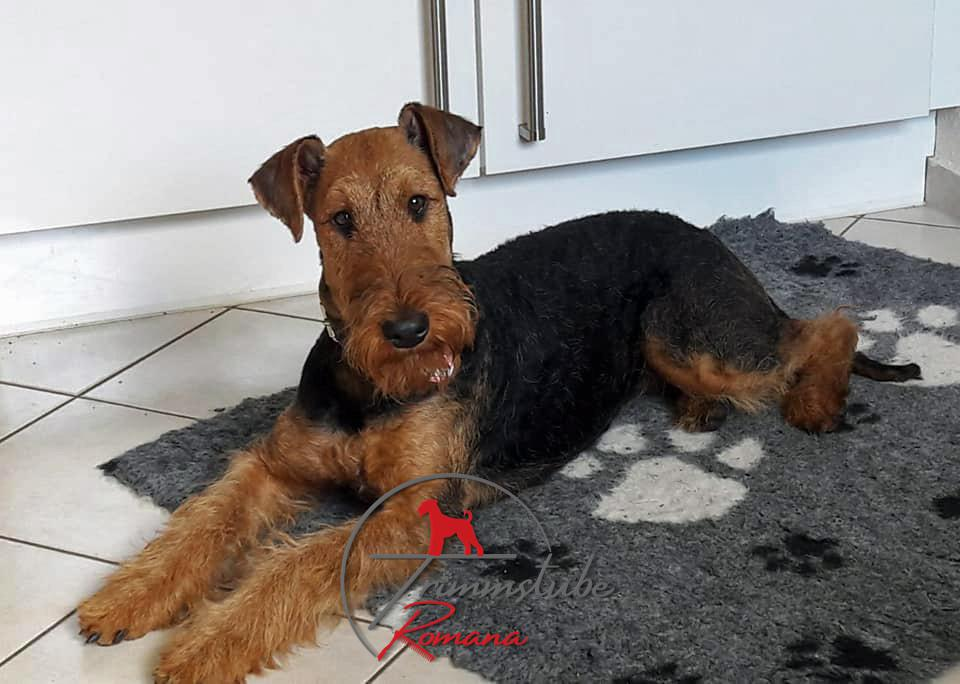 """Airedale Terrier im """"rolling coat"""""""