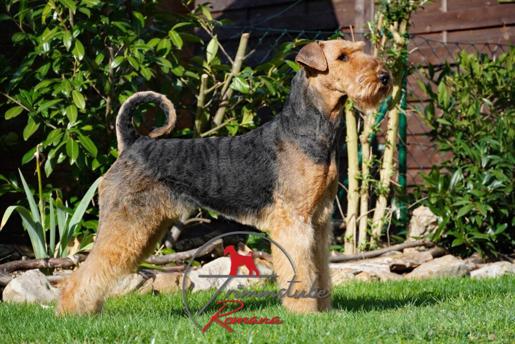 Airedale Terrier im Rolling Code