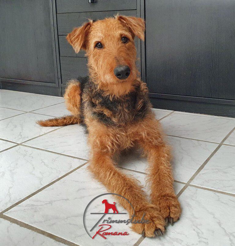 Airedale Terrier vorher